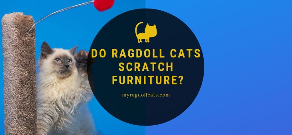 do ragdoll cats scratch furniture