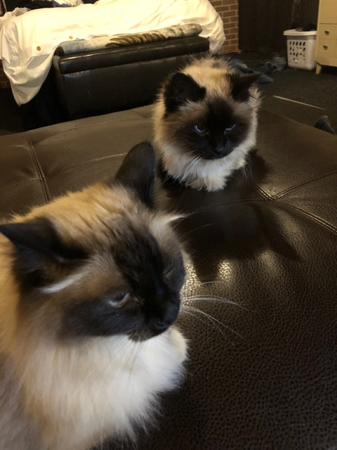 maya and Gc my ragdoll cats