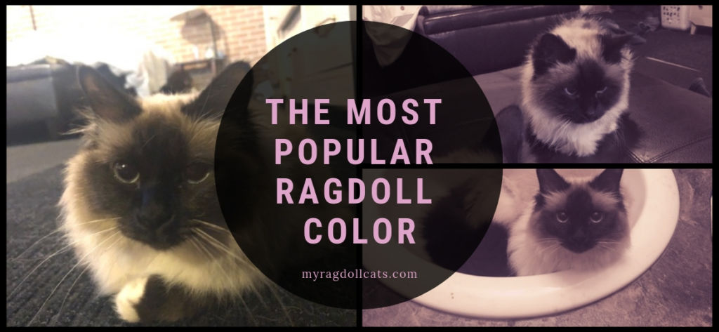 the most popular ragdoll color