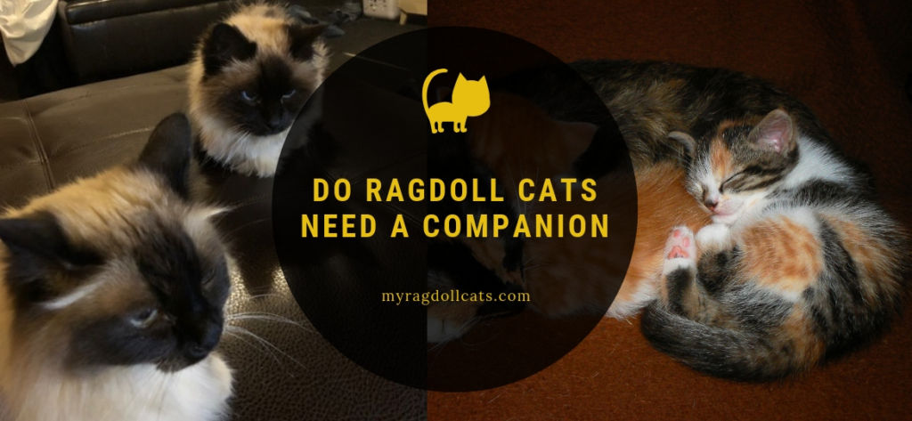 Do Ragdoll Cats need a Companion
