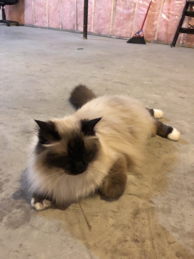 maya my ragdoll seal point