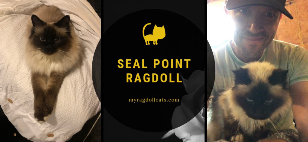 seal point ragdoll pattern points eye color