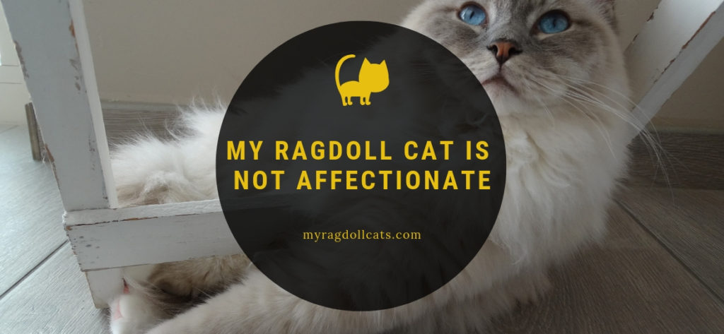 my ragdoll cat is not affectionate