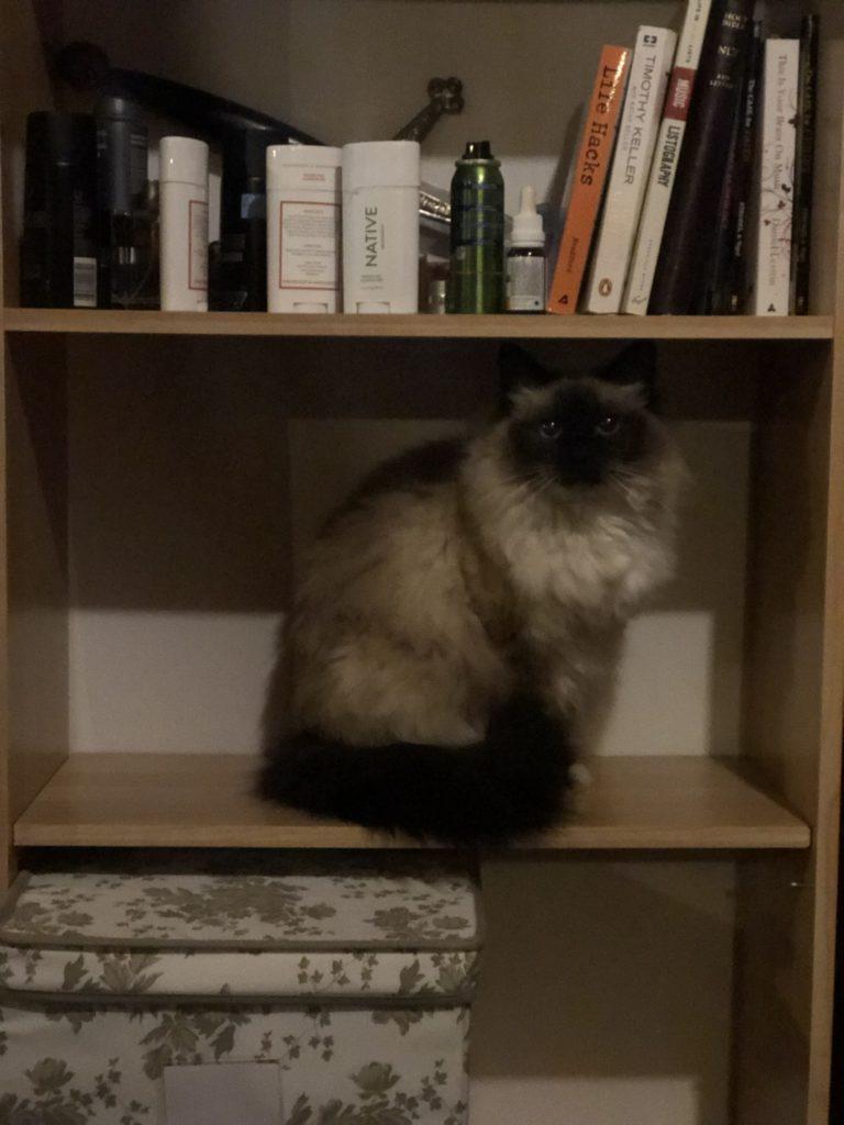 maya cat on the book shelf hopefully not peeing