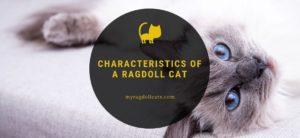 characteristics of a ragdoll cat