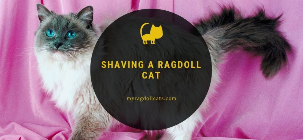 Shaving a Ragdoll Cat - My Ragdoll Cats