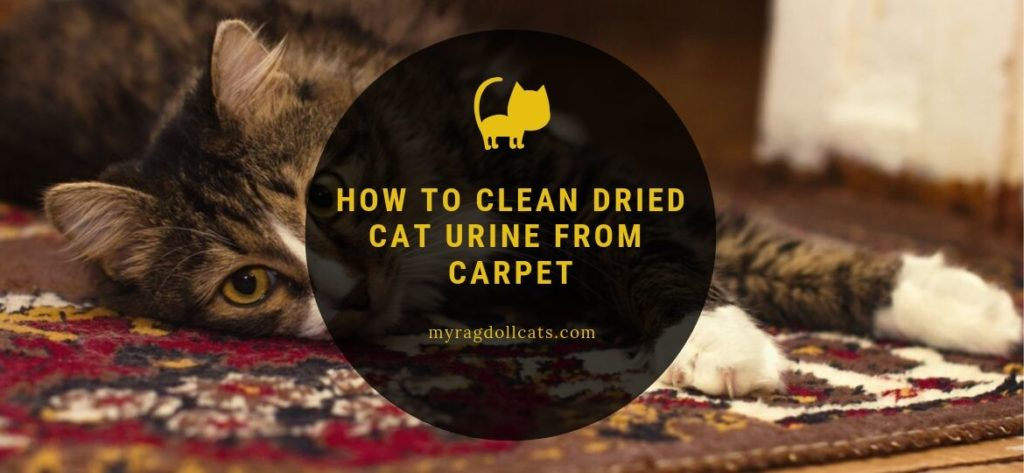 Clean Dried Cat Urine from Carpet