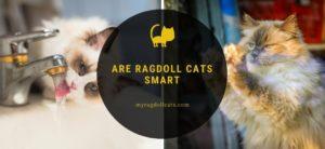 Are Ragdoll Cats Smart (1)
