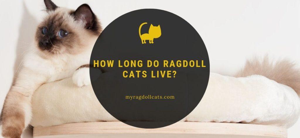 How Long do Ragdoll Cats Live