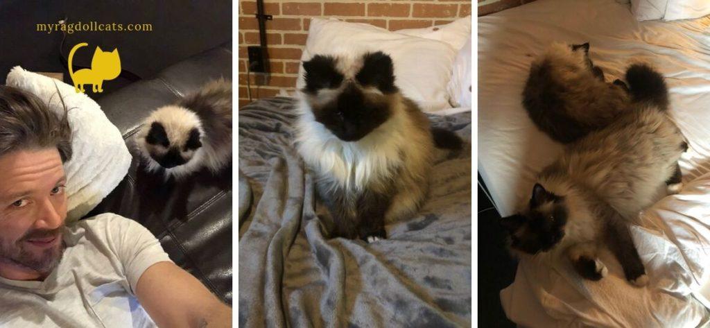 ragdoll-cat-life-span-grandma-cat