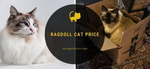 cost of a ragdoll kitten or cat