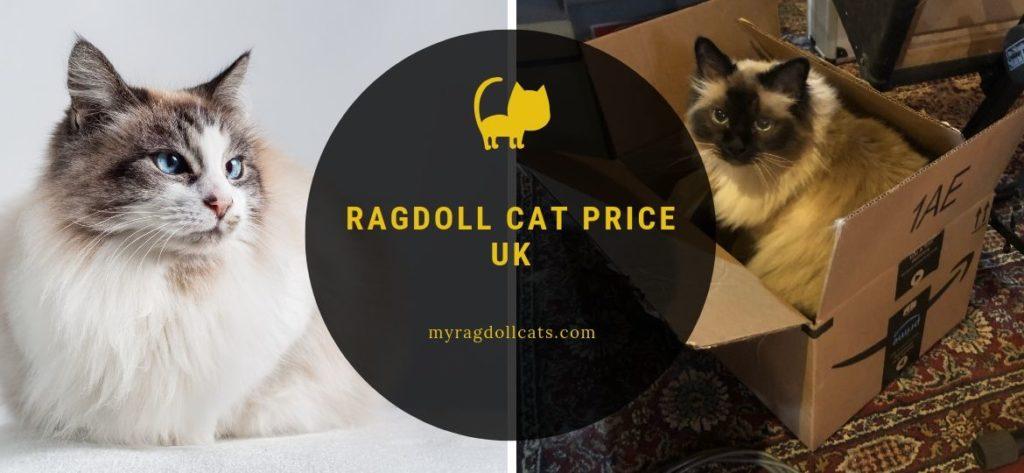 ragdoll cat price UK