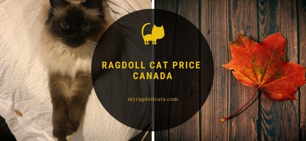 ragdoll cat price canada