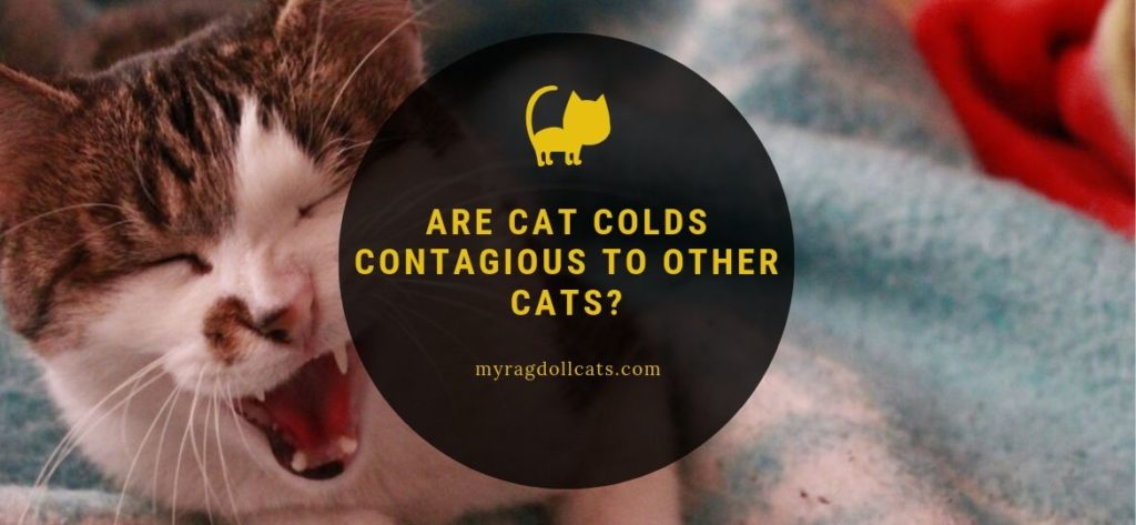 Are Cat Colds Contagious to Other Cats