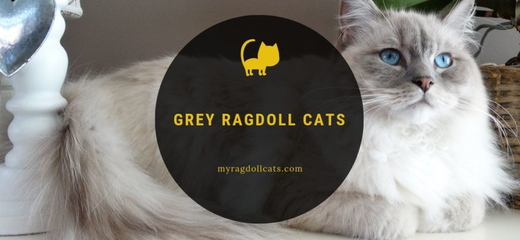 Grey Ragdoll Cat
