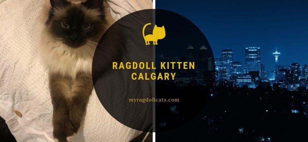 ragdoll kitten calgary