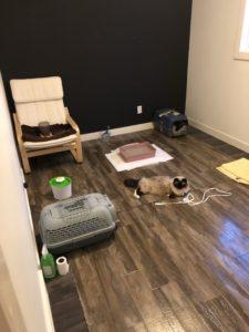 ragdoll cat room