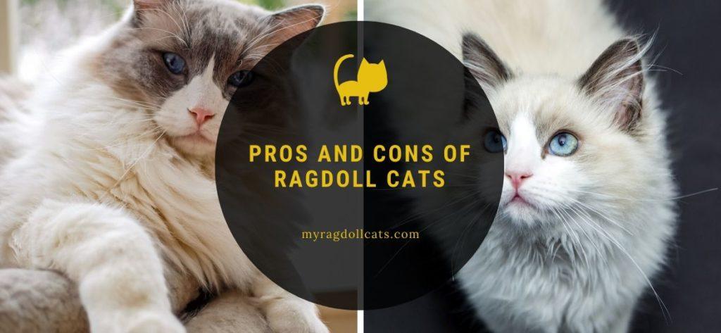pros and cons of ragdoll cats