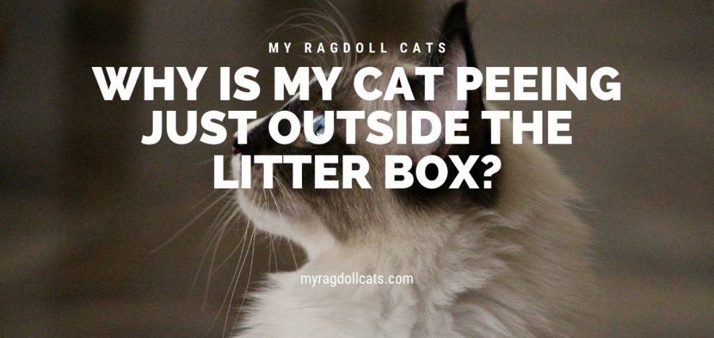 Why is My Cat Peeing Just Outside the Litter Box_