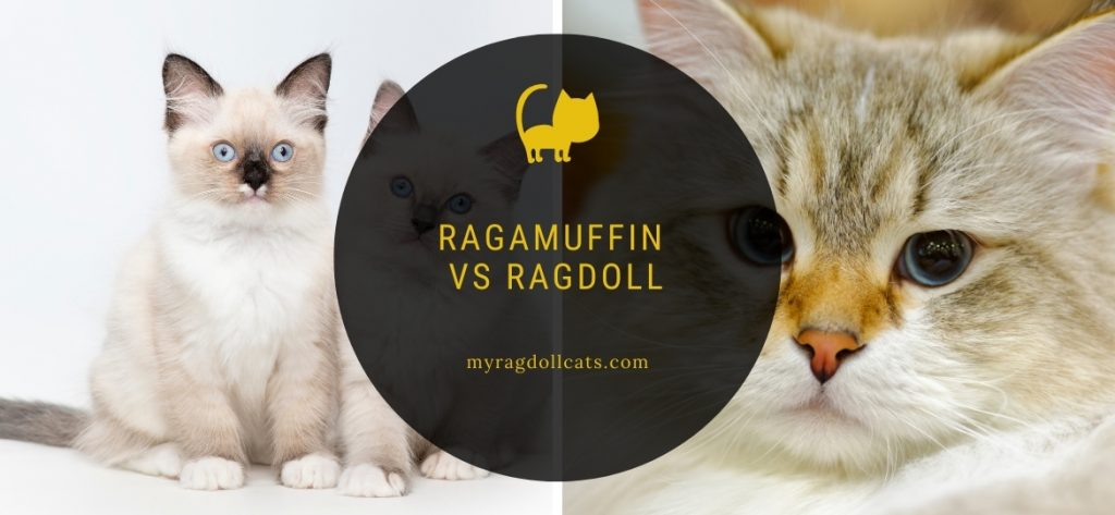 Ragamuffin vs Ragdoll