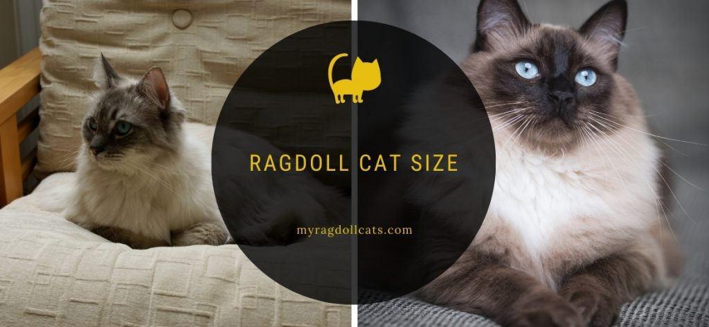 Ragdoll Cat Size