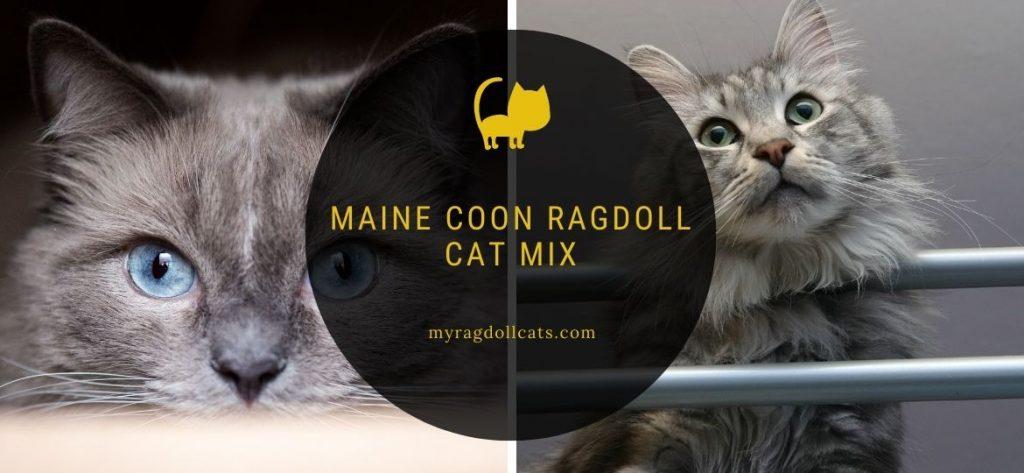 ragdoll maine coon mix