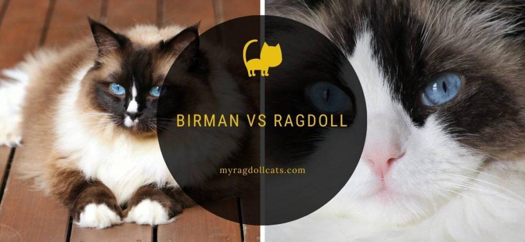 birman vs ragdoll