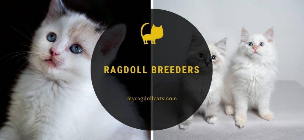 Ragdoll Breeders Ragdoll Kittens