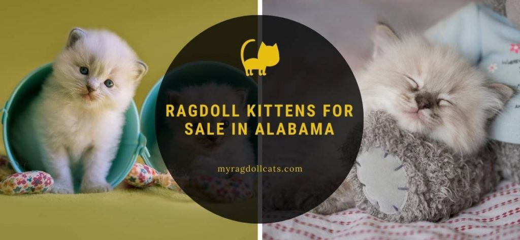 Ragdoll Kittens for Sale Alabama