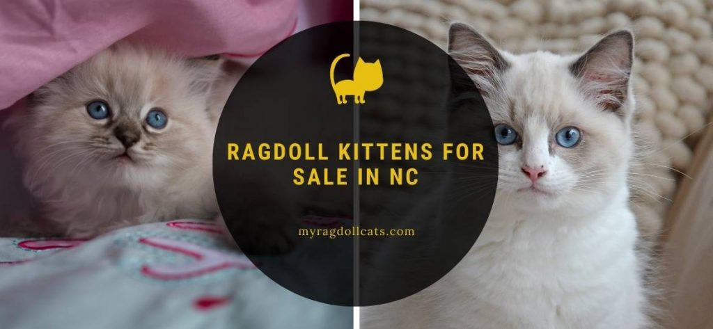 Ragdoll Kittens for Sale NC
