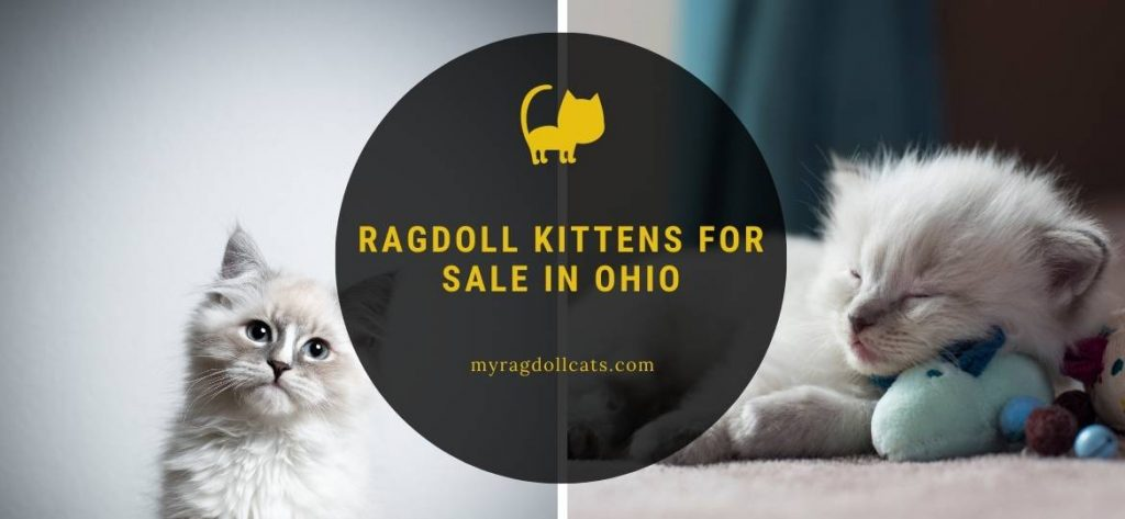 Ragdoll Kittens for Sale Ohio