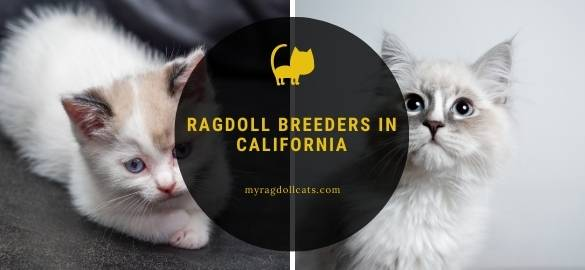 Ragdoll Breeders in California