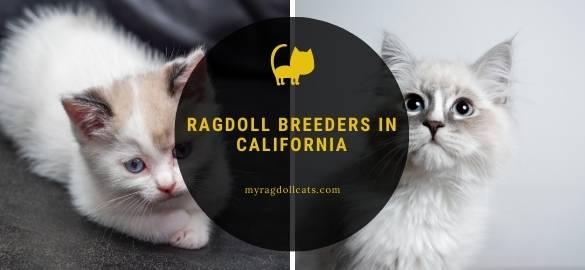 Ragdoll Breeders in California