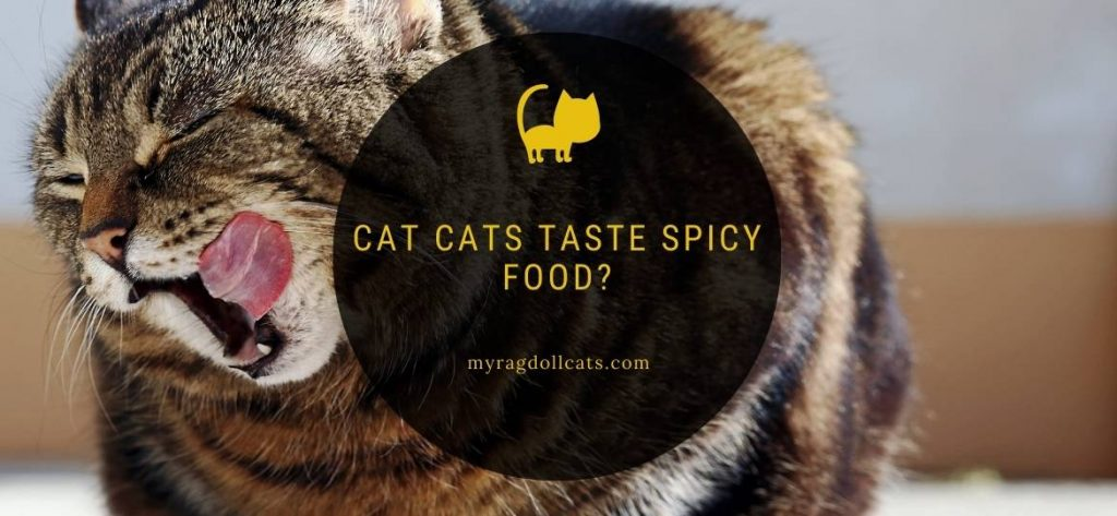 Cat cats taste spicy food