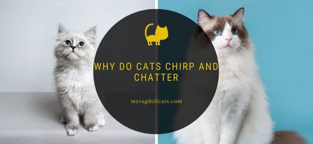 Why do cats chirp and chatter